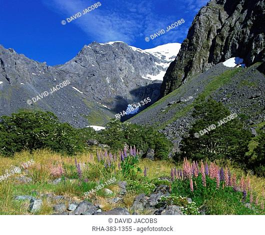 Alpine flowers and lupins near Milford Sound in the mountains of Otago on the South Island of New Zealand, Pacific