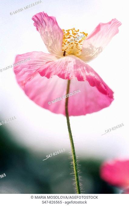 Pink Shirley Poppy. Papaver rhoeas
