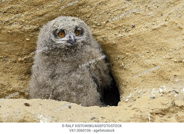 Eurasian Eagle Owl ( Bubo bubo ), young chick, standing in front of their nesting burrow in a sand pit, wildlife, Europe.