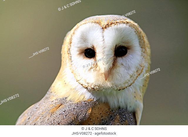 Barn Owl, (Tyto alba), adult portrait, Pelm, Eifel, Germany, Europe