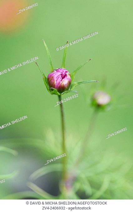 Close-up of a garden cosmos or Mexican aster (Cosmos bipinnatus) blossom in a garden in summer