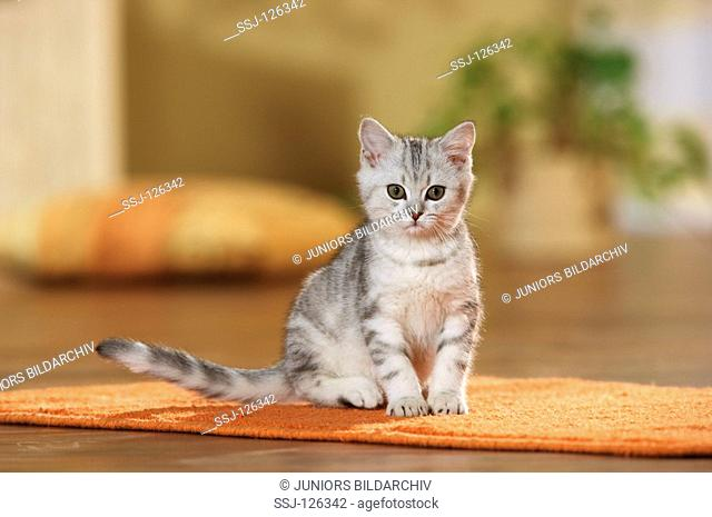 British Shorthair kitten - sititng on rug restrictions:Tierratgeber-Bücher / animal guidebooks