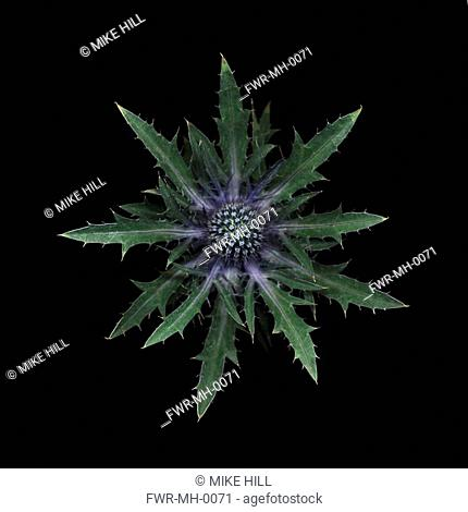 Eryngium - variety not identified, Sea holly