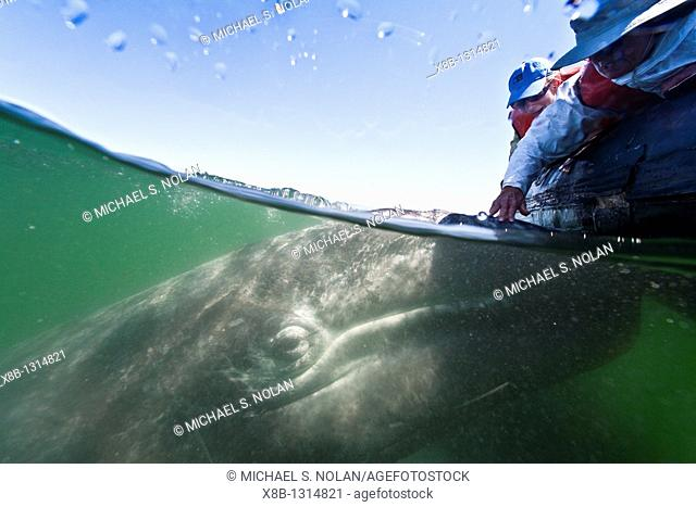 California gray whale Eschrichtius robustus calf with excited whale watchers photographed half above and half below the water in San Ignacio Lagoon on the...
