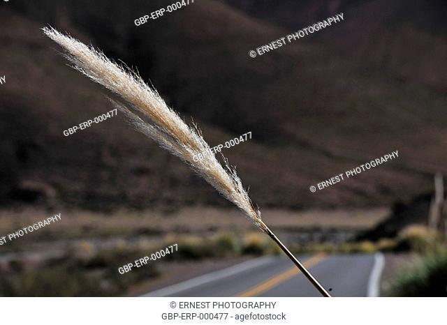 Flower, grass, white tuft, 2015, Desert, Atacama, Chile