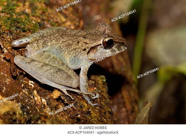 Common Rain Frog, Rana vaillanti, Breviceps acutirostris, Costa Rica, Central America