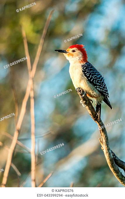 Red-bellied woodpecker (Melanerpes carolinus) is sitting on the branch. Wildlife scene from Florida, USA. Spring day on the meadow