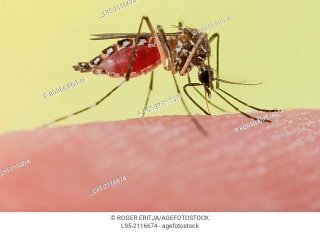 Biting on human skin in order to collect blood necessary for making an eggbatch, transmitting diseases such as Dengue or Yellow Fever in this act