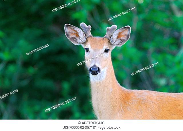 A young Whitetail Buck deer poses for the camera with a darker background