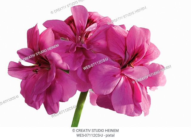 Geranium, Pelargonium peltatum, close-up