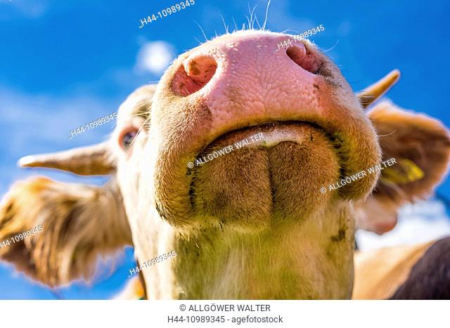 head of a cow from below