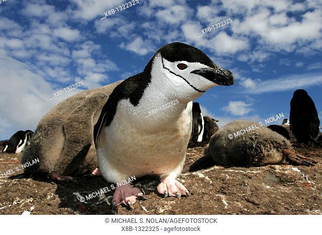 Curious adult chinstrap penguin Pygoscelis antarctica inspects the camera on Deception Island, Antarctica