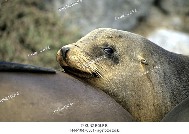 10476501, sea lion, Galapagos sea lion, portrait, Zalophus californianus, Seymour, Galapagos, Sp Wollebaecki