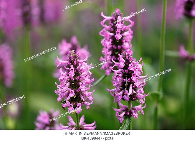 Purple Betony (Stachys officinalis, Stachys betonica, Betonica officinalis), medicinal plant
