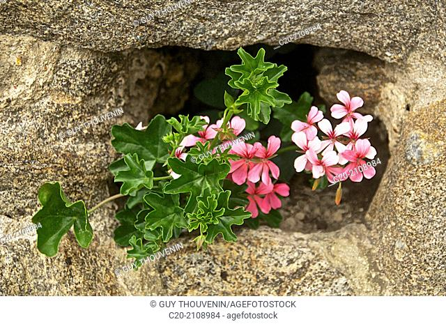 Ivyleaf geranium in a hole in a wall,Dinard, Brittany, Ille et Villaine 35, France