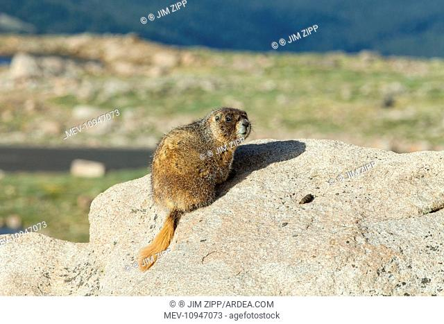 Rock Chuck / Yellow-bellied Marmot - on rocks at 14,000 feet on Mount Evans in Rocky Mountain National Park - July Colorado, USA