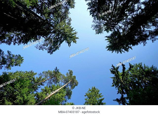 Forest glade, pines, bottom view, against blue sky, Germany, Bavaria, Altötting