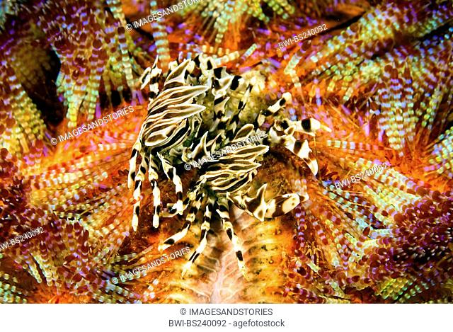 Zebra crab Zebrida adamsii, two animals on a fire urchin, Asthenosoma varium, Indonesia, Komodo National Park