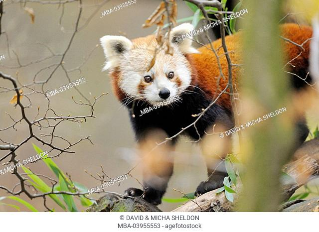 lesser panda, Ailurus fulgens, branches, side view, standing, looking at camera