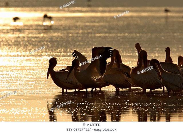 Pelicans on Lake at Sunrise, Ndutu Lake, Tanzania