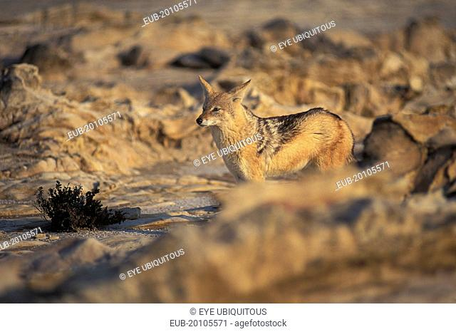 Jackal in the Namib Diamond region Skeleton Coast Namibia. This region is off limts due to Diamond mining activiety by De Beers consequently Jackals have no...