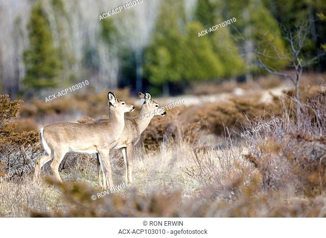 Two White-tailed Deer (Odocoileus virginianus), Barrie Island, Manitoulin Island, Ontario, Canada