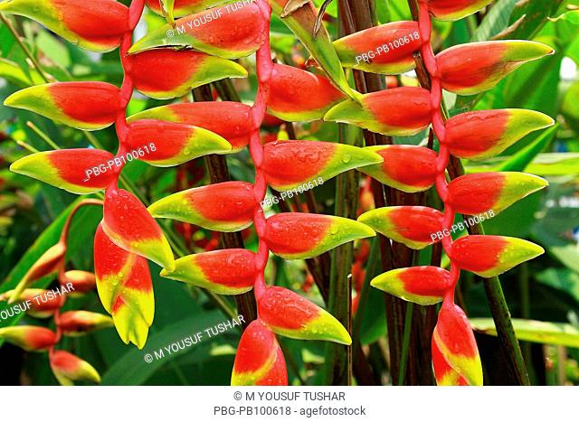A flower of lobster claw heliconia Heliconia rostrata Bangladesh May 2007