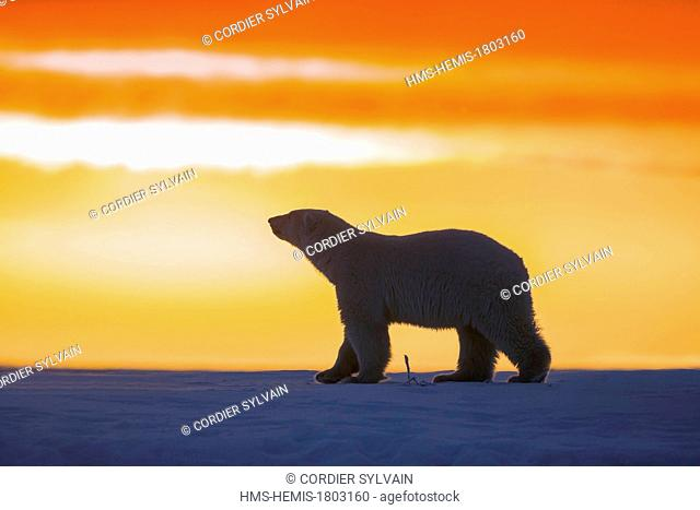United States, Alaska, Arctic National Wildlife Refuge, Kaktovik, Polar Bear( Ursus maritimus ), in the sunset along a barrier island outside Kaktovik, Alaska