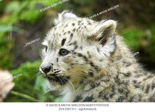 Portrait of a snow leopard (Panthera uncia syn. Uncia uncia) youngster in autumn. Captive. Germany