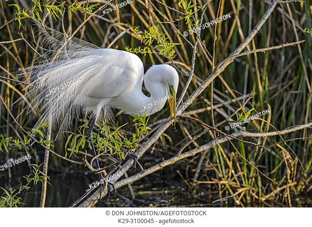 Great egret (Casmerodius albus, Ardea alba, Egretta alba) Procuring nest material, Smith Oaks Audubon Rookery, High Island, Texas, USA