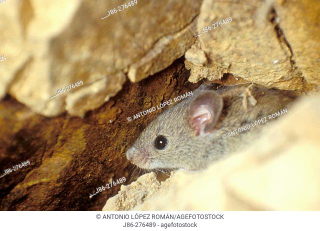 Woodmouse (Apodemus sylvaticus)