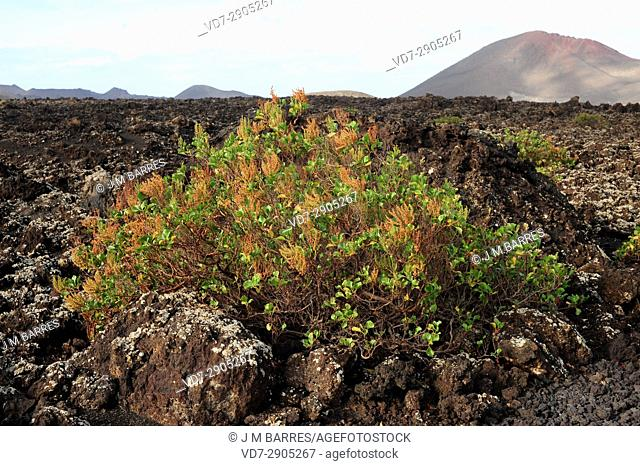 Vinagrera or calcosa (Rumex lunaria) is a shrub endemic of Canary Islands. This photo was taken in Lanzarote Island, Canary Islands, Spain