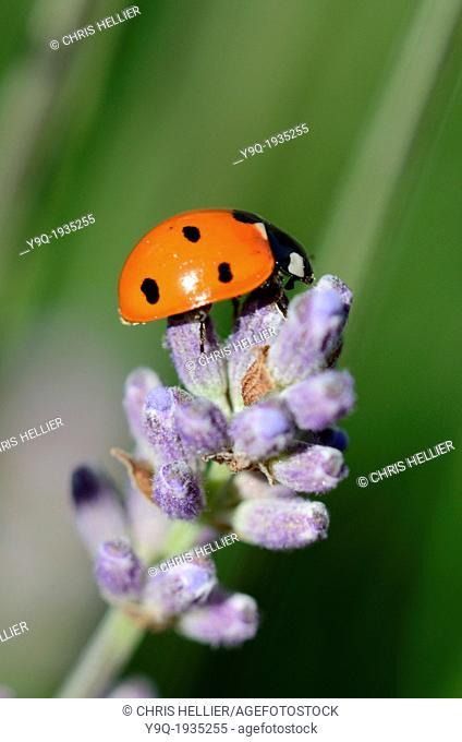 7-Spot Ladybird on Lavender