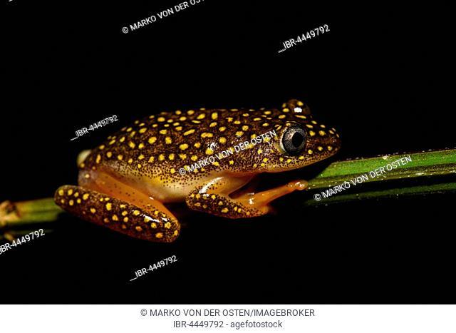 Whitebelly Reed Frog (Heterixalus alboguttatus), male, Andasibe National Park, Madagascar