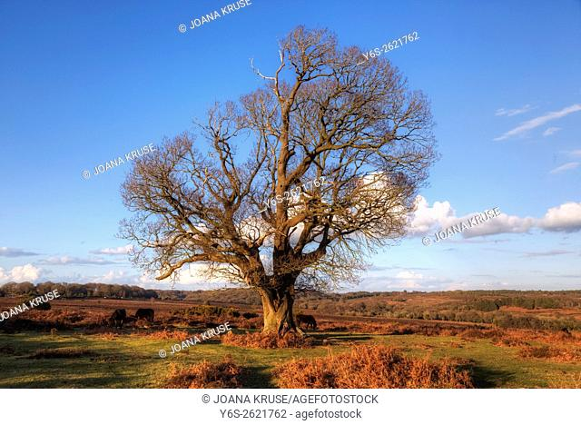 tree in winter at Mogshade Hill, New Forest, Lyndhurst, England, UK