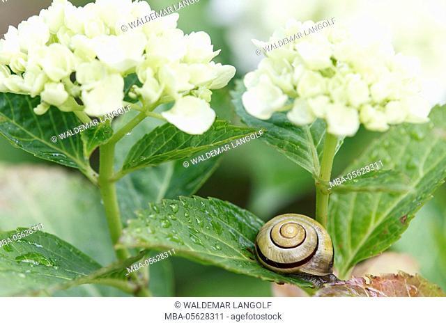 loach, smaller bended snail, Cepaea hortensis, on hydrangea blossom
