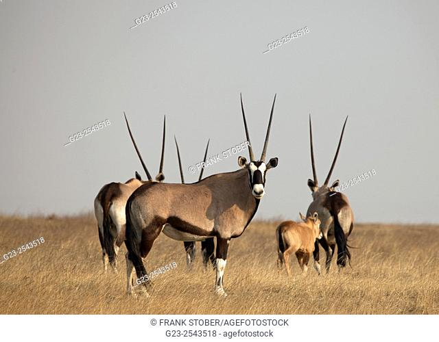 Group of Oryx antelopes