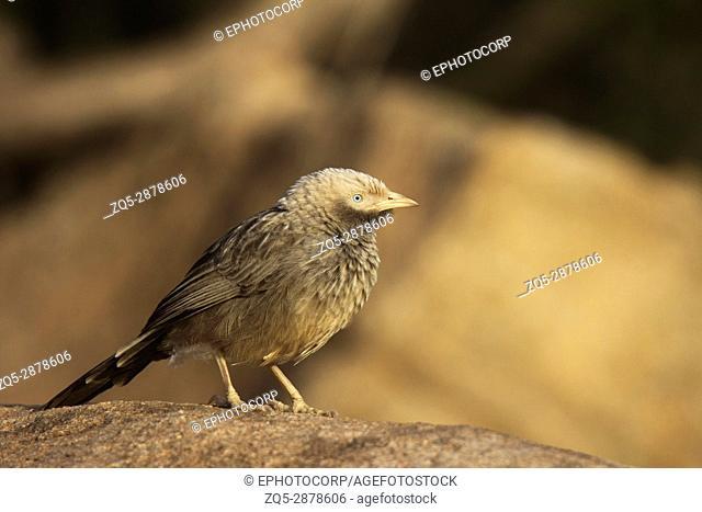 Large Grey Babbler, Turdoides malcolmi