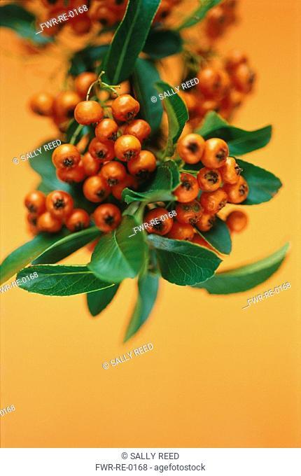 Pyracantha coccinea, Pyracantha / Firethorn