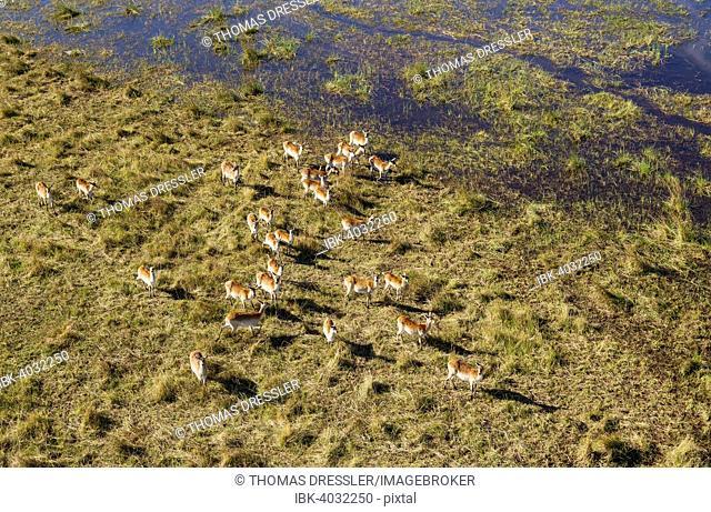 Red Lechwe (Kobus leche leche) herd at the edge of a freshwater marsh, aerial view, Okavango Delta, Botswana