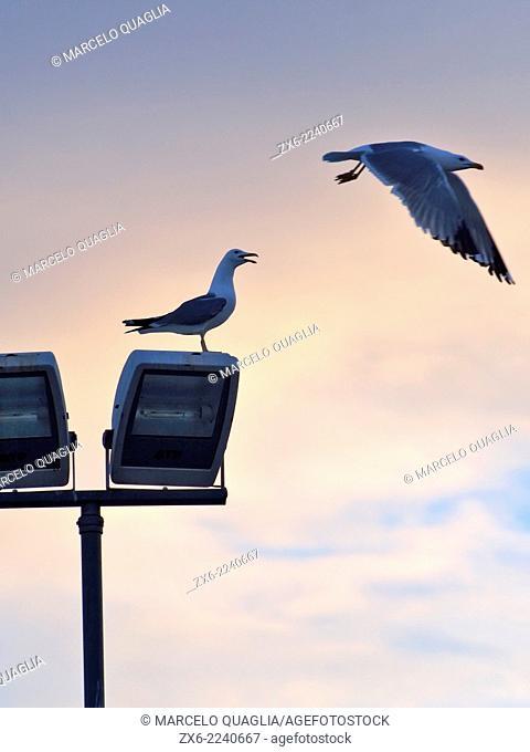 Audouin's seagulls (Larus audouinii) flying over lamppost. Sant Carles de la Rapita village. Ebro River Delta Natural Park, Tarragona province, Catalonia, Spain