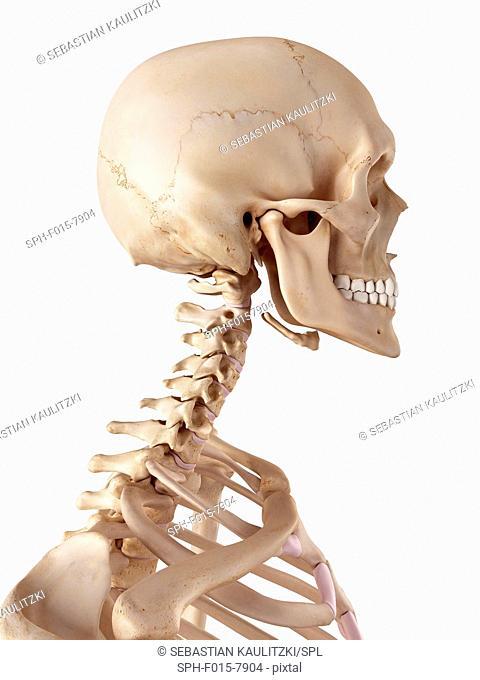 Human skull and neck, illustration