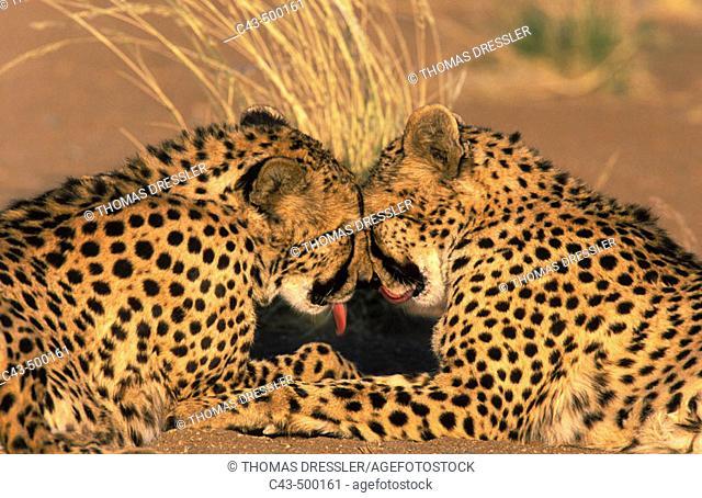 Cheetah (Acinonyx jubatus); grooming pair, photographed in captivity on a farm. Namibia