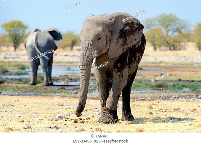 Portrait of an elephant calf (Loxodonta africana)