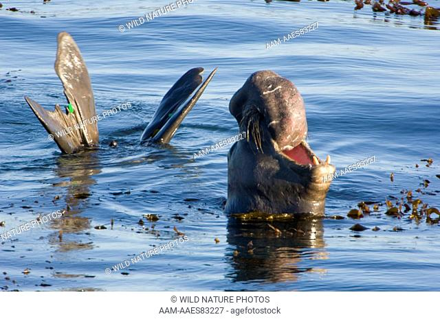 Northern Elephant Seal (Mirounga angustirostris) bellowing in the water, showing green research tags on hind flippers (thus this animal is from Ano Nuevo State...