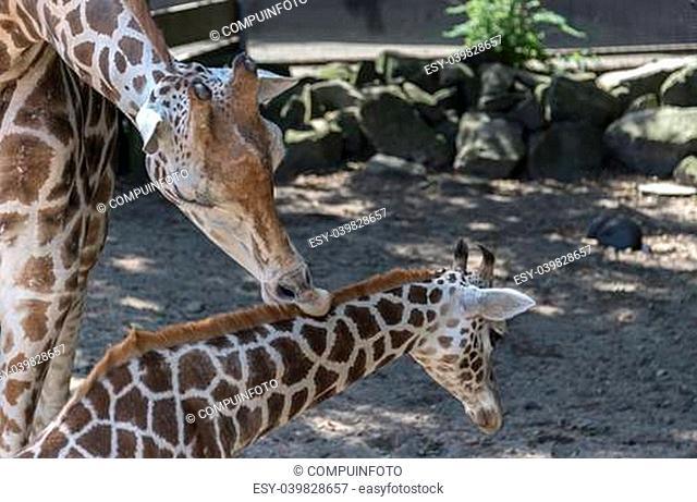 mother giraffe taken care of young baby giraffe