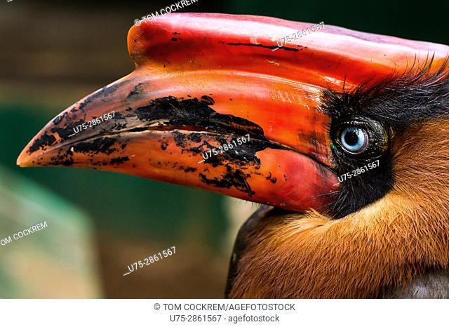 Hornbill at Albay Park and wildlife, Legazpi City, Albay, Philippines