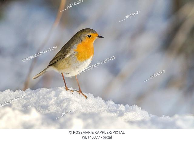 Germany, Saarland, Bexbach, A robin redbreast in the snow is searching for fodder