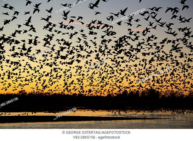 Canada geese (Branta canadensis) in flight at dawn at Eagle Marsh, Ankeny National Wildlife Refuge, Oregon