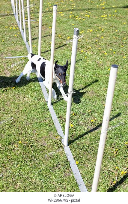 High angle view of dog running across poles on field